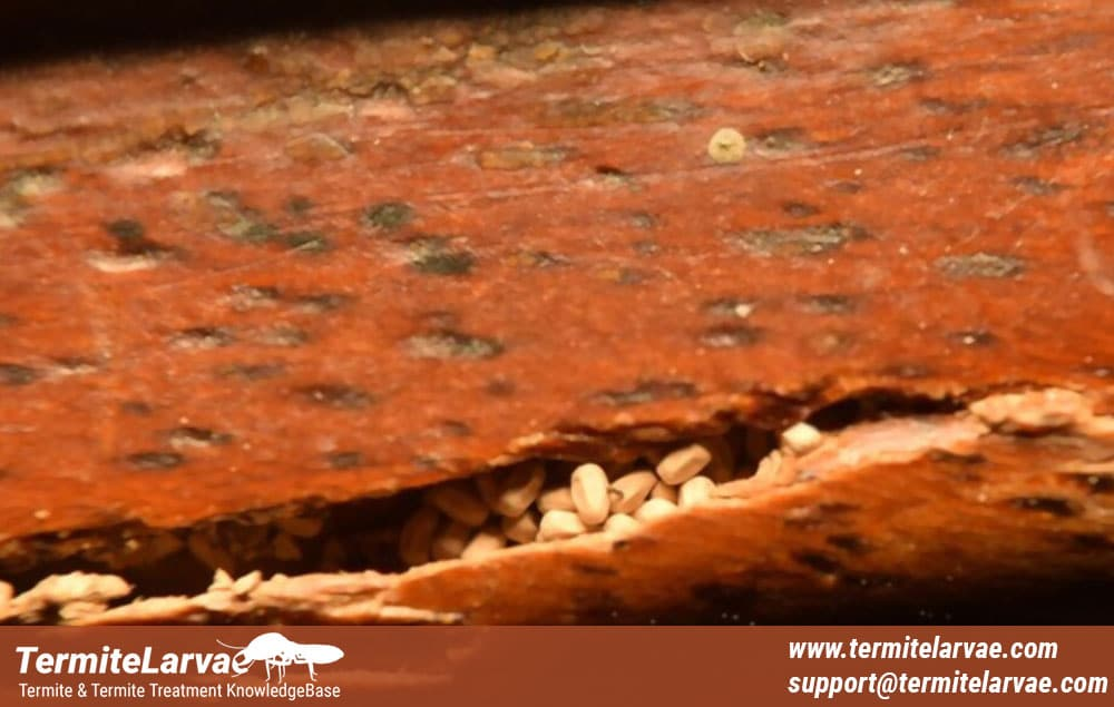 Termite Droppings Vs. Ant Dropping