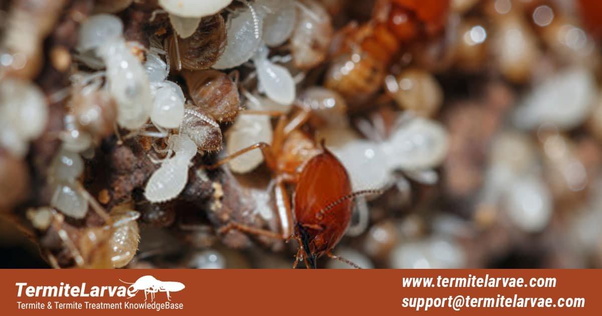 Termite Larvae and How to Get Rid of Them