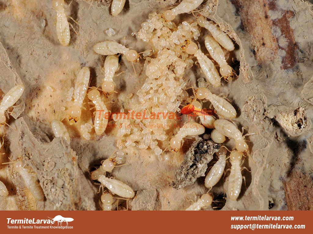 Some Facts About Baby Termites