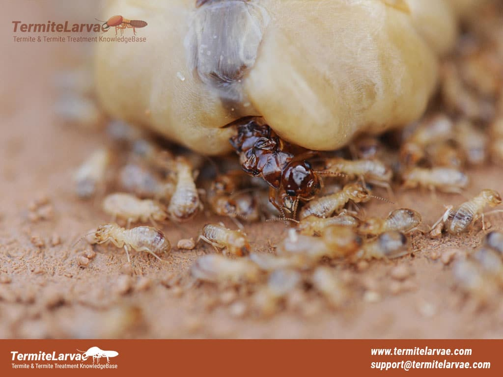 Queen Termite Laying Eggs